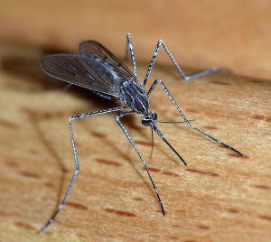 1024px-Mosquito_2007-2