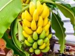 banana-trees-289022372